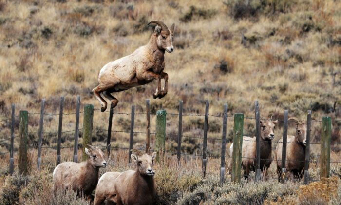 Rocky Mountain bighorn sheep leaps over a fence in Almont, Colorado, on Feb. 15, 2018. (Don Emmert/AFP via Getty Images)