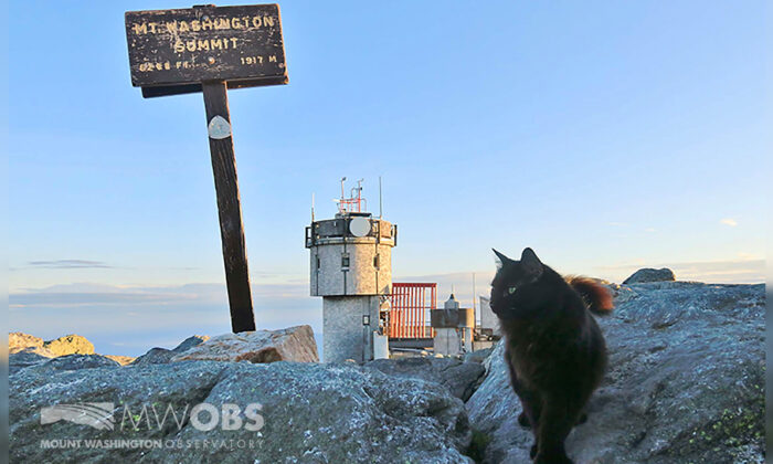 Marty the cat walks on a boulder outside the Mount Washington Observatory in North Conway, N.H. on June 28, 2020. The black Maine coon cat, who has patrolled the Northeast's highest peak for a dozen years as its weather observatory's mascot, has died. (Ryan Knapp/Mount Washington Observatory via AP)