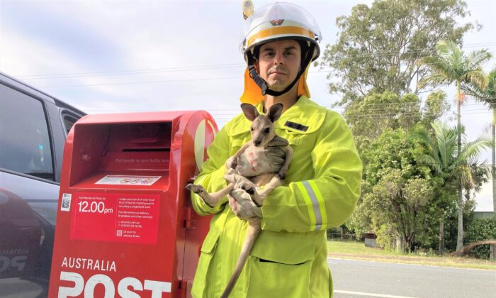Pimpama Fire and Rescue Station was called to Stapylton Jacobs Well Road on the Gold Coast and confirmed there was a joey in a post box. (Queensland Fire and Emergency Services)