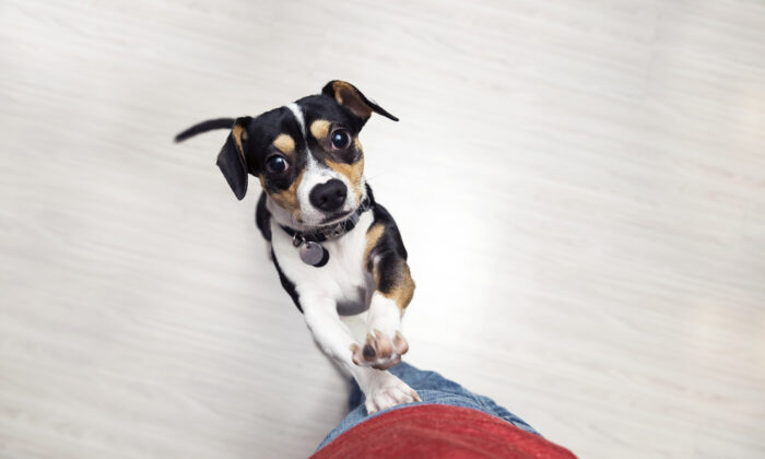 A dog will jump on you for attention. Teach him what to do instead.  (virgmos/Shutterstock)