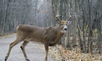 Arrest Made in Threats to Longueuil Mayor Over Decision to Kill Deer