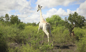 World's Last Surviving White Giraffe Fitted With GPS Tracker to Protect From Poachers in Kenya