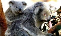 Koalas Rescued During Bushfire Finally Return to Their Natural Habitat in Victoria