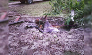 Florida Firefighters Free 40-Year-Old Horse That Fell Into Septic Tank