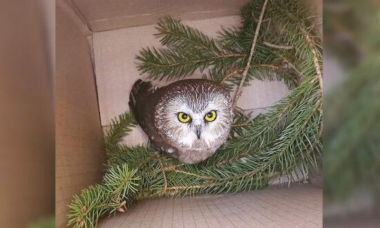 Tiny Stowaway Owl Found in Rockefeller Center Christmas Tree Felled 170 Miles Away