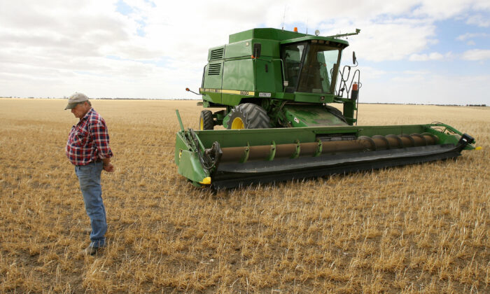 Farmer Marshall Rodda looks at his failed crop in the Australian wheat belt area of Wimmera, near Warracknabeal, northwest of Melbourne, 14 Nov. 2006. (William West/AFP via Getty Images)