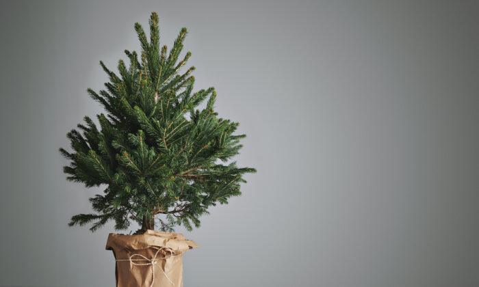 Live Christmas trees have become more popular in recent years. (BublikHaus/Shutterstock)