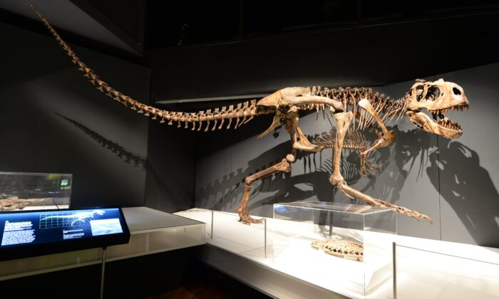 The Australian Museum (AM) opens its all-new 1,000sqm touring exhibition hall with an update of its own acclaimed exhibition, Tyrannosaurs – Meet the Family. (Supplied by the Australian Museum)