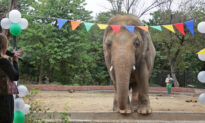 The 'World's Loneliest Elephant' All Set to Leave Pakistan for a New Life in Cambodia