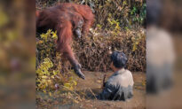 Heartwarming Moment an Orangutan Extends Helping Hand to Guard Clearing Snakes From River