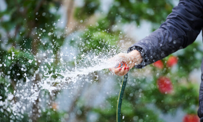 A Sydney resident waters the garden using a hose without a trigger nozzle on June 01, 2019 in Sydney, Australia. (Jaimi Chisholm/Getty Images)