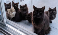 Stray Momma Cat Returns to the Woman Who Fed Her With Six Kittens in Tow