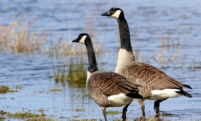 There are about a dozen subspecies of the Canada goose. (Ger Bosma Photos/Shutterstock)