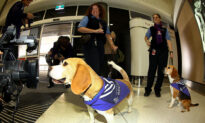 Sniffer-Dogs Being Trained to Operate in Australian Airports for COVID Defence