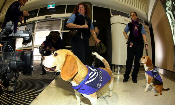 Sniffer dogs wear Dockers coats at the Perth Airport on September 26, 2013 in Perth, Australia. (Paul Kane/Getty Images)