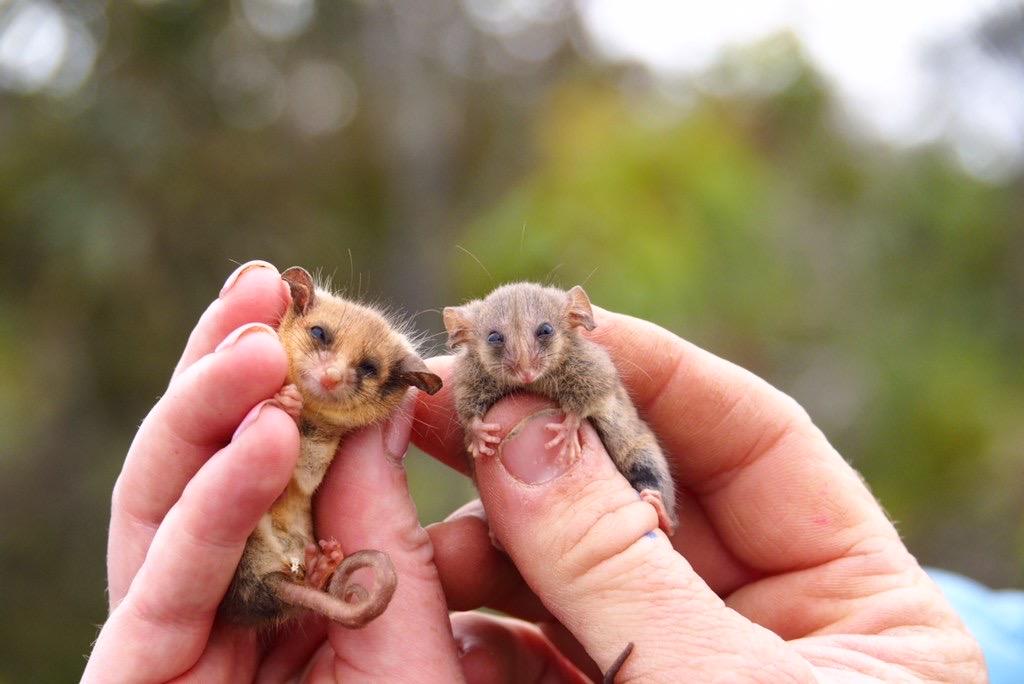 Western pygmy possum, Little pygmy possum