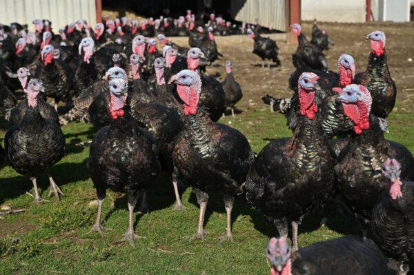 British turkeys