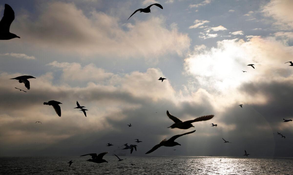Seagulls trawler
