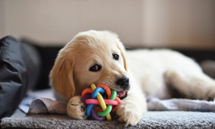"Hard chew bones can break a dog's teeth. Instead, choose safe chew toys that have some ""give."" (Photology1971/Shutterstock)"