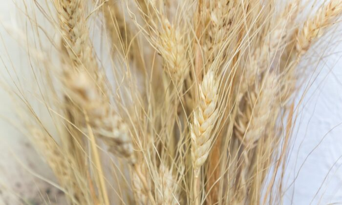 Kamut (khorosan) and durum wheat may be the same species, but khorosan is an older subspecies, and perhaps a direct ancestor of grano duro. (MarinaGreen/Shutterstock)