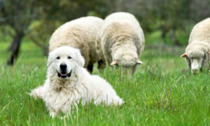 Giant Sheep Dogs to Protect Endangered Bandicoots