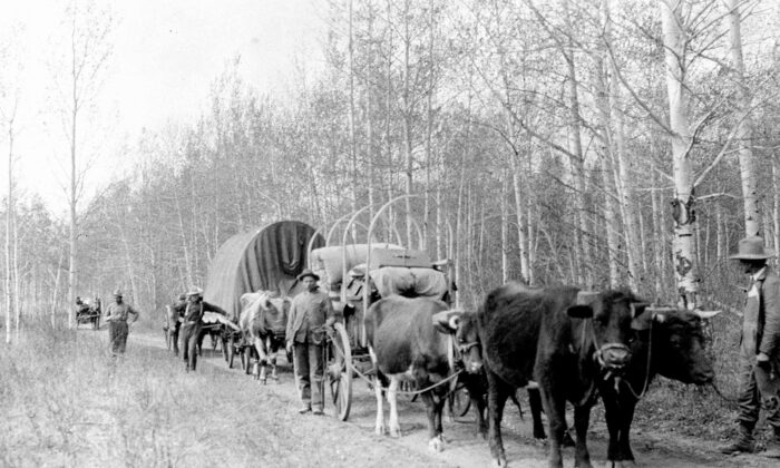 Settlers in wagons make their way along a trail 60 miles north of Edmonton in 1910. Most early Canadians were happy just to be here, in cold and rough conditions. (National Archives of Canada/Carl Engler)