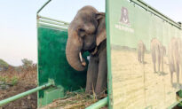 Elephant That Begged for 40 Years With Spiked Chains Tied Around Legs Is Finally Free