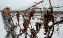 Limited Quantity of Ontario Icewine Likely to Make 2020 Bottles in High Demand