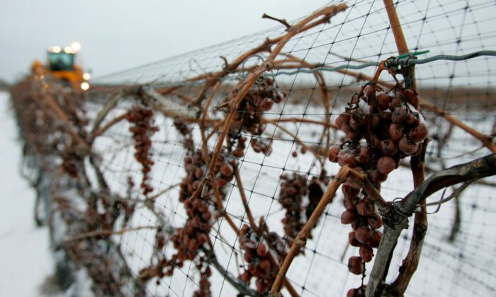 Frozen grapes hang on their vines as grower Ted Scube drives a harvester in Niagara-on-the-Lake, Ontario, on Jan. 26, 2007. Canada stands at the top of the icewine podium, with almost 100 wineries out of 500 that last year produced 2.5 million bottles worth $70 million retail. (The Canadian Press/Dave Chidley)
