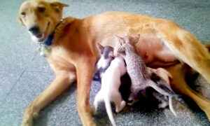 Mother Dog 'Adopts' Litter of 5 Kittens in Need After Their Mom Goes Missing