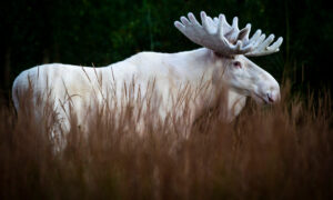 Wildlife Photographer Captures Stunning Images of a Rare White Moose in Swedish Forests