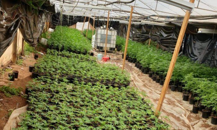South Australia police seize over 10,000 cannabis plants in Buckland Park, Adelaide, Australia on Dec. 29 2020. (South Australia Police [CC by 4.0])