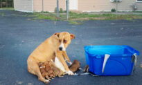 Boxer Mom Abandoned in Parking Lot With 9 Puppies Finds Forever Family for Christmas