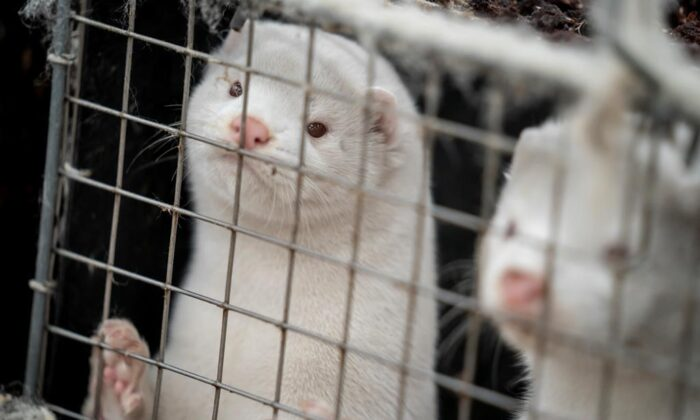 Minks look out of a cage at a fur farm in the village of Litusovo, northeast of Minsk, Belarus in this file photo. (AP Photo/Sergei Grits, File)