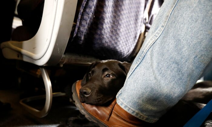 A service dog rests on the foot of its trainer while sitting inside a United Airlines plane at Newark Liberty International Airport in Newark, N.J., on April 1, 2017. (Julio Cortez/AP Photo)