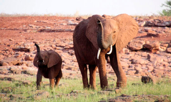 Team Rescues Mother Elephant Walking in Pain With Hunter's Snare Cutting Into Her Leg