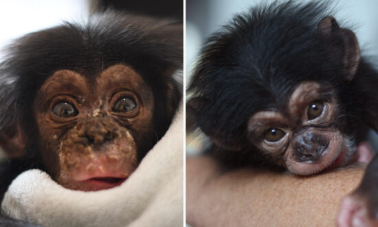 Orphaned Baby Chimpanzee Recovers After Falling From Tree as Mom Was Killed by Poachers