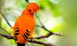 Bird With Unusual Half-Moon Crest Is the Must-See Species in Tropical Rainforests