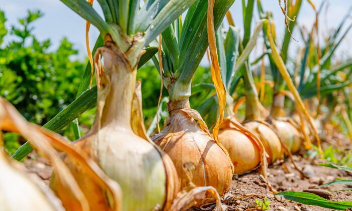 Onions are