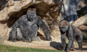 San Diego Zoo Gorillas Test Positive for COVID-19, First Known Case Confirmed in Apes