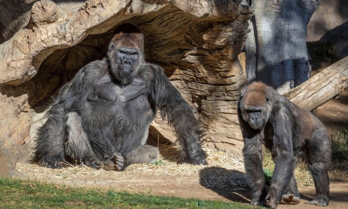 Gorillas sit after two of their troop tested positive for COVID-19 after falling ill, and a third gorilla appears also to be symptomatic, at the San Diego Zoo Safari Park in San Diego, Calif., on Jan. 10, 2021. (Ken Bohn/San Diego Zoo Global/Handout via Reuters)