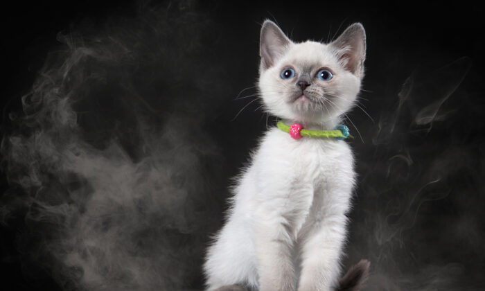 Secondhand smoke is particularly harmful to cats because they inhale it and also ingest the toxins trapped in their fur when they groom themselves. (dien/Shutterstock)