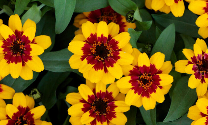 Zinnia Profusion Red Yellow Bicolor, winner of a Gold Medal in the 2021 All-America Selections. (Courtesy of All-America Selections)