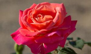 Award-Winning Roses for Your Garden