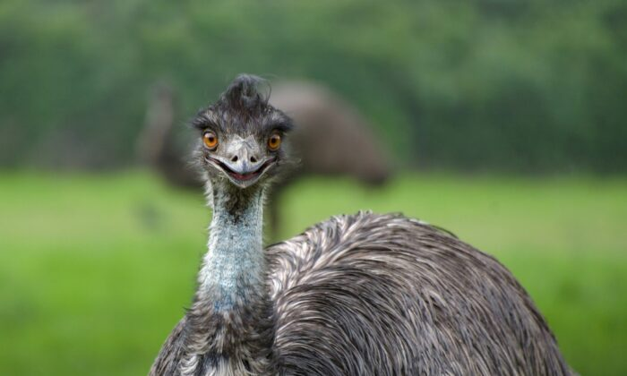 Emus are one of Australia's most popular animals, and they also feature on the Coat of Arms. (Christel Sagniez/Pixabay)
