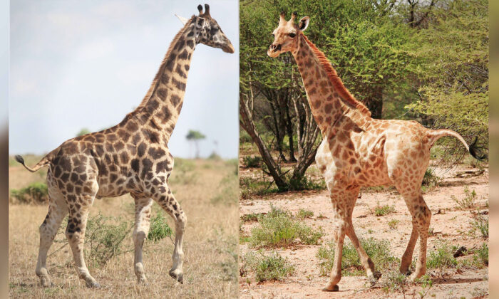 (Courtesy of Michael Brown and Emma Wells/Giraffe Conservation Foundation)
