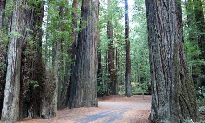 Old-growth redwood trees in California's Humboldt Redwoods State Park, on Nov. 8, 2013. (Daderot/CC0 1.0)