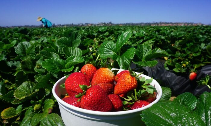 A woman picks strawberries in Carlsbad, California on April 22, 2018. (Frederic J. Brown/AFP via Getty Images)