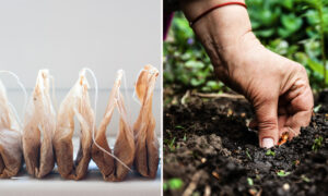 9 Surprisingly Useful Reasons to Plant Used Tea Bags Rather Than Throw Them Away