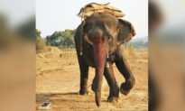 Elephant That Was Force-Fed Alcohol by Owners to Keep Her Under Control Is Now Free